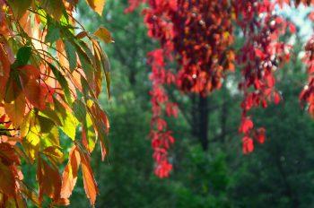 Vigne d'automne, photographie haute résolution libre de droits à télécharger pour identité visuelle, communication et décoration. Nature Plantes Sauvage