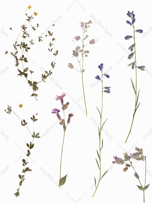 Herbier Fleurs sauvages, images végétales haute résolution libre de droits à télécharger et à imprimer / Wild flowers Herbarium, high resolution vegetal pictures downloadable and printable Royalty free. Illustrations Vegetal Plants Leaves Digital Flowers Floral