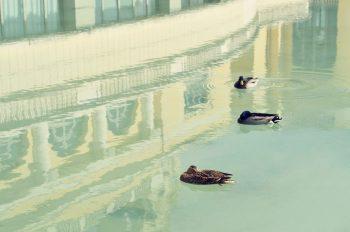 Canards dans un bassin, photographie haute résolution libre de droits à télécharger pour identité visuelle, communication et décoration. Oiseau Ville Eau