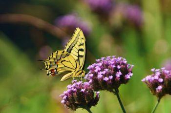 Papillon Machaon, image haute résolution libre de droits à télécharger pour identité visuelle, communication et décoration. Insecte Jardin Couleurs