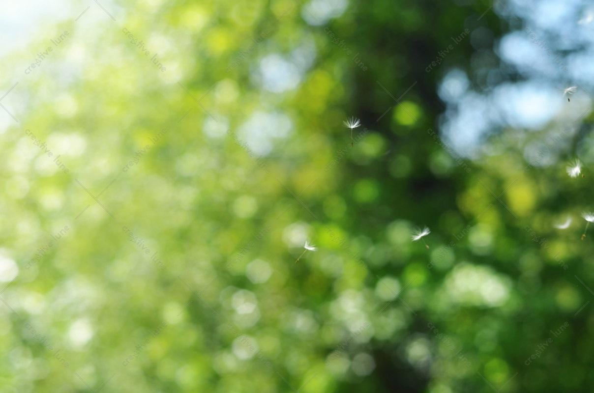 Graines de pissenlit dans le vent, image haute résolution libre de droits à télécharger pour identité visuelle, communication et décoration. Nature Fleur