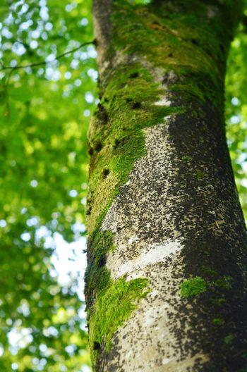 Arbres recouverts de mousse, photographies haute résolution libres de droits à télécharger pour identité visuelle, communication et décoration. Forêt Nature