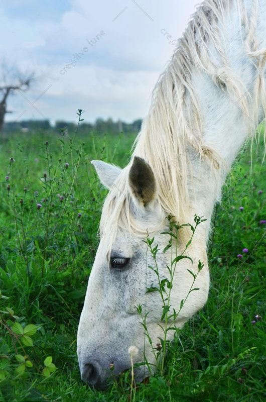 Cheval blanc, image haute résolution libre de droits à télécharger pour identité visuelle, communication et décoration. Campagne Animal Nature Prairie
