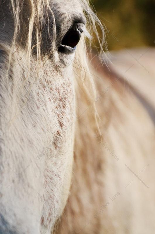 Cheval blanc et son regard, image haute résolution libre de droits à télécharger pour identité visuelle, communication et décoration. Animal Campagne