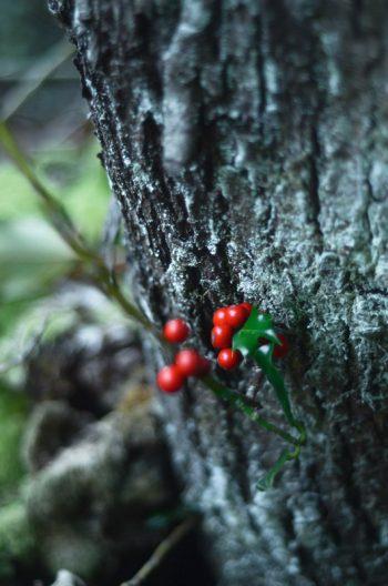 Écorces d'hiver, houx et lichen, photographies haute résolution libres de droits à télécharger pour identité visuelle, communication et décoration. Noël