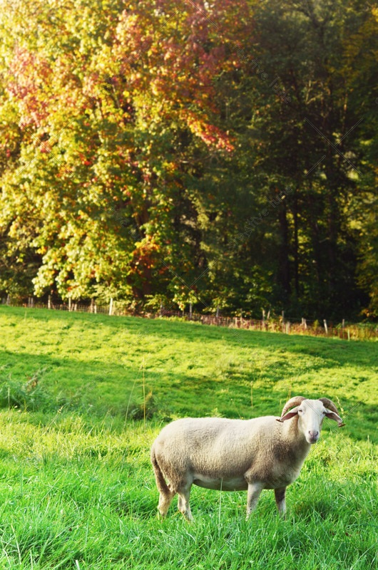 Mouton blanc dans un pré, image haute résolution libre de droits à télécharger pour identité visuelle, communication et décoration. Animal Ferme Campagne