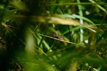 Criquet noir ébène caché dans des herbes, image haute résolution libre de droits à télécharger / Insecte, Prairie, Biodiversité, Été, Nature, Animal sauvage