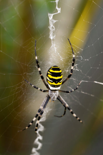 Araignée au jardin : Argiope, image haute résolution libre de droits à télécharger / Nature, Biodiversité, Arachnides, Toile, Soie, Eté, Photo, Jaune, Noire