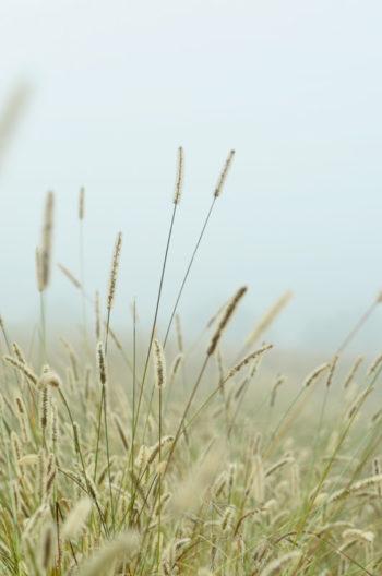 Graminées d'automne dans la rosée du matin, image haute résolution libre de droits à télécharger / Nature, Campagne, Herbes, Plantes, Sauvage, Brume, Photo