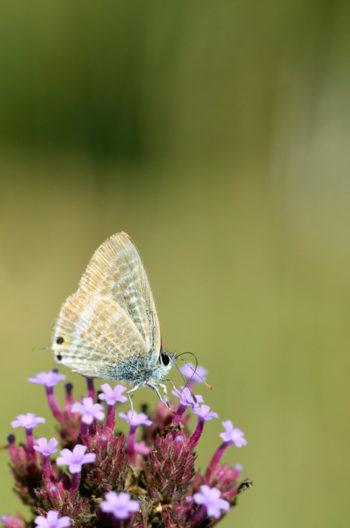 Papillon Azuré porte-queue sur une fleur de Verveine, image haute résolution libre de droits à télécharger / Nature, Jardin, Insectes, Sauvage, Biodiversité