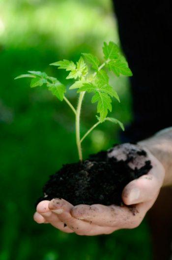 Travail de la terre : main tenant une jeune plante, image haute résolution libre de droits à télécharger / Tomate, Plantation, Jardin, Jardinage, Potager
