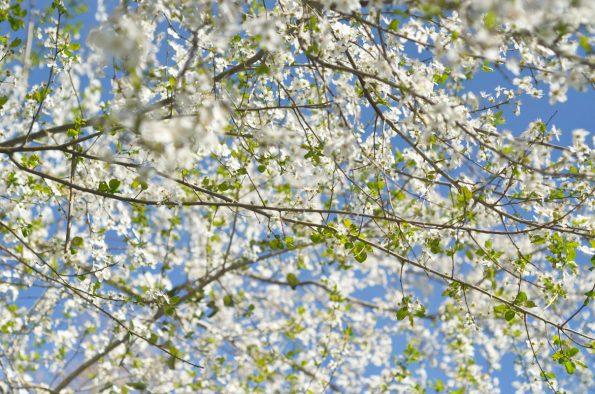 Floraison printanière : Cerisier blanc • Image haute résolution libre de droits à télécharger / Nature au printemps, Fleurs, Jardin, Arbre, Blanc, Plantes