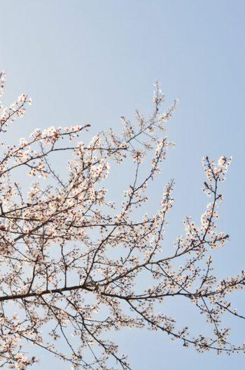 Végétation sauvage : prunier pourpre en fleurs • Image haute résolution libre de droits à télécharger / Nature, Cerisier, Prunus, Printemps, Blanc, Rose