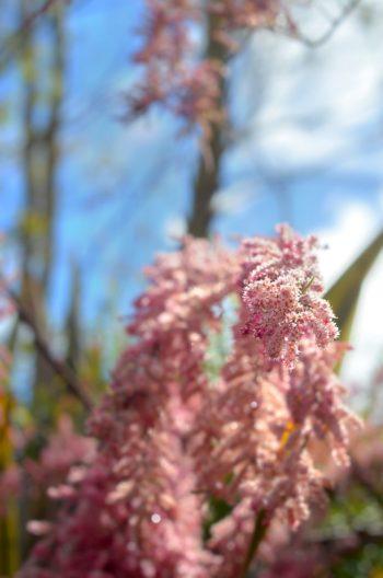 Arbre méditerranéen en fleurs : Tamaris • Image haute résolution libre de droits à télécharger / Floraison, Tamarix, Printemps, Nature, Mer, Marin, Plantes