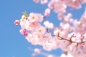 Cerisier du Japon en fleurs sur un ciel bleu, image haute résolution libre de droits à télécharger / Nature, Sakura, Fleurs, Floraison, Japonais, Printemps