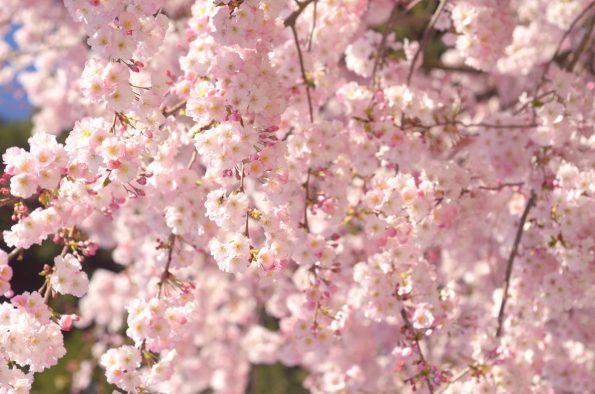 Cerisier du Japon au printemps • Photographies haute résolution libres de droits à télécharger / Sakura, Fleurs, Floraison, Japonais, Printanier, Nature