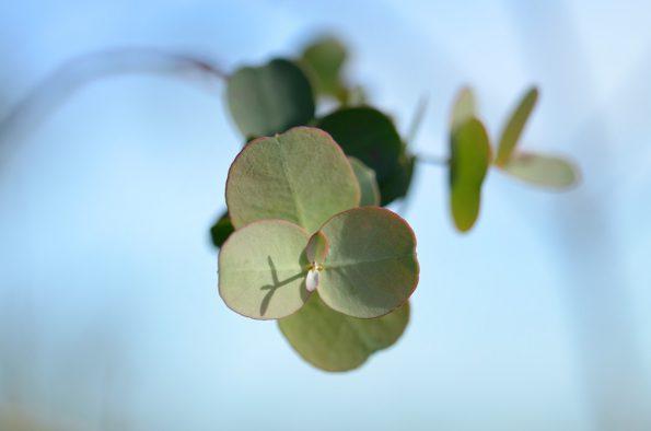 Jeunes feuilles d'Eucalyptus par temps ensoleillé • Image haute résolution libre de droits à télécharger / Photographie de nature, Plantes, Arbre, Printemps