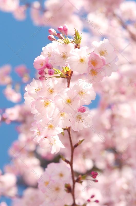 Fleurs de printemps : Cerisier sakura • Image haute résolution libre de droits à télécharger / Japon, Japonais, Floraison, Nature, Arbre, Délicat, Ephémère