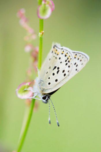 Papillon Azuré sur une fleur sauvage • Image haute résolution libre de droits à télécharger / Creative Lune