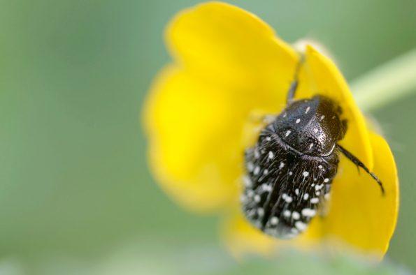 Biodiversité au jardin : insecte Cétoine dorée • Image haute résolution libre de droits à télécharger / Coléoptère, Scarabée, Nature, Fleur, Auxilliaire • Creative Lune