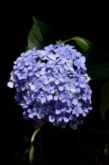 Floraison resplendissante d'un Hortensia bleu • Image haute résolution libre de droits à télécharger • Creative Lune