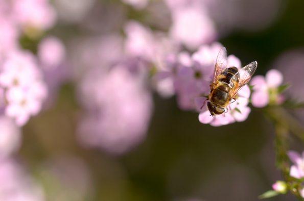 Insectes et pollinisateurs : Abeille mellifère • Photographie haute résolution libre de droits à télécharger • Creative Lune