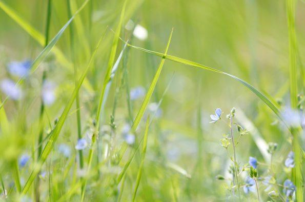 Nature et fleurs sauvages : Véronique petit chêne • Image haute résolution libre de droits à télécharger