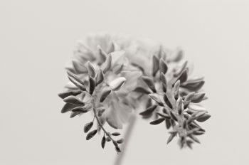 Fleurs de Glycine • Image haute résolution libre de droits à télécharger / Noir et Blanc, Couleurs, Floraison, Jardin, Plantes, Printemps, Photo macro