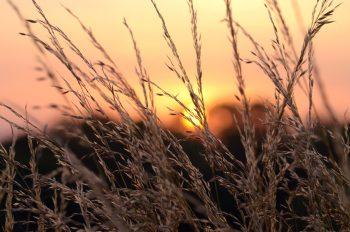 L'été : soleil couchant et graminées • Image haute résolution libre de droits à télécharger