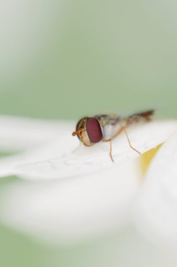 Insecte Syrphe ceinturé sur une marguerite • Image haute résolution libre de droits à télécharger