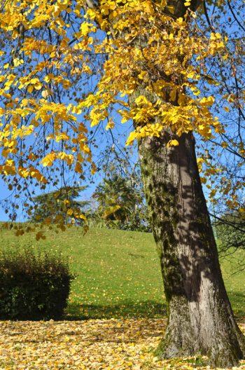 Couleurs de l'automne : Tilleul et son feuillage jaune doré • Photo Arbre libre de droit