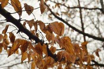 Feuilles mortes sur une branche d'arbre • Photo automne • Libre de droit