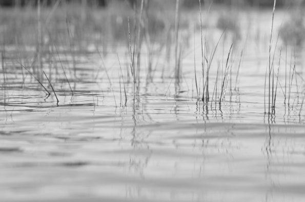 Lac marin : eau calme et herbes délicates • Photo noir et blanc libre de droit à télécharger