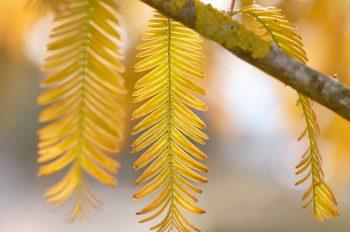 Nature en automne : feuillage de Métaséquoia • Photo Arbre libre de droits à télécharger