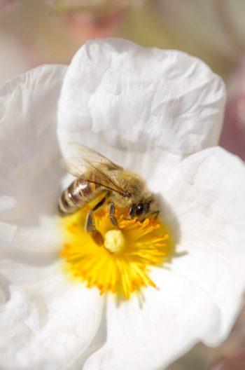 Abeille butinant une fleur de ciste • Photo macro Nature & Biodiversité à télécharger / Image Libre de droit d'une abeille - Creative Lune : banque d'images