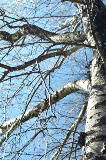 Bouleau en hiver • Photo Arbre Libre de droit à télécharger / Image de nature en hiver, Photo d'une écorce de bouleau - Creative Lune : Banque d'images