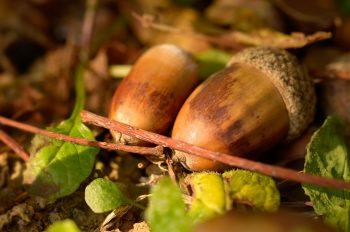 Sous-bois en automne : feuilles et glands - photo automnale libre de droits à télécharger / Image macro haute résolution de glands de chêne • Creative Lune