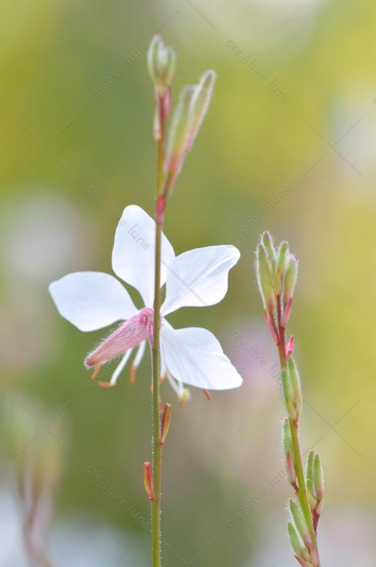 Fleur de sauge - photographie libre de droits à télécharger • Creative Lune