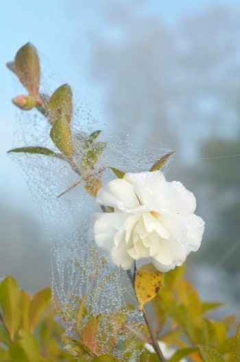 Fleur de camélia dans la rosée - image de nature libre de droits à télécharger • Creative Lune