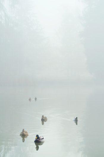 Canards sur un lac au petit matin - photographie de nature en hiver à télécharger • Creative Lune