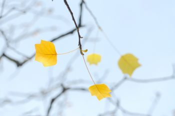 Tulipier de Virginie et ses feuilles délicates - photographie libre de droits à télécharger / Feuillage jaune et éclatant d'un Tulipier