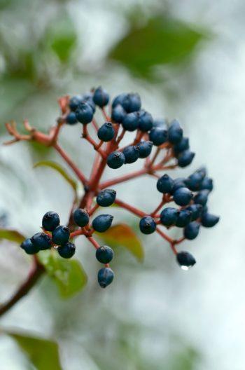 Flore hivernale : laurier-tin et ses petits fruits - image de plantes libre de droits à télécharger / Photo des petites baies d'un laurier
