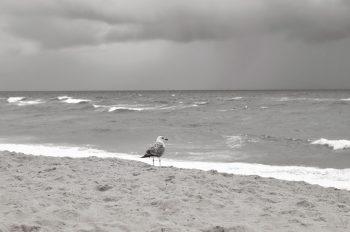 Goéland au bord de l'océan - image animalière libre de droits à télécharger / Photographie d'un goéland argenté sur une plage dégagée