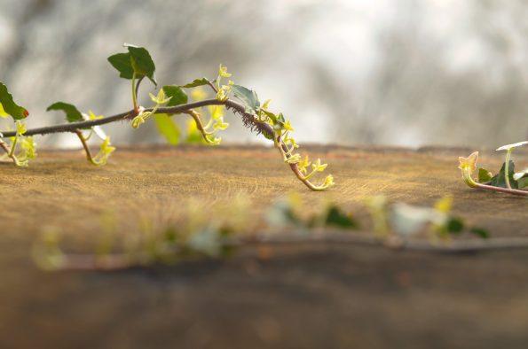 Lierre sur une souche - image forestière libre de droits • Creative Lune