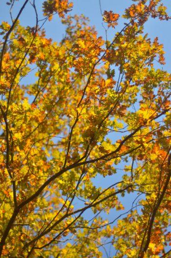 Ramure de chêne flamboyante - image automnale libre de droits à télécharger • Creative Lune