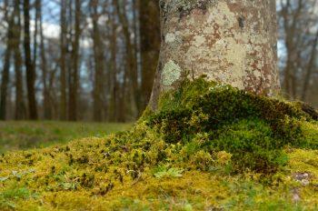 Tapis de mousse au pied d'un hêtre - image de nature libre de droits à télécharger / Photographie de sous-bois et variétés de mousse