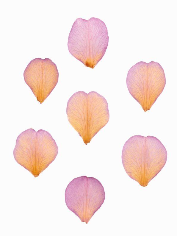 Herbier Camélia - image de pétales de fleur à télécharger • Creative Lune