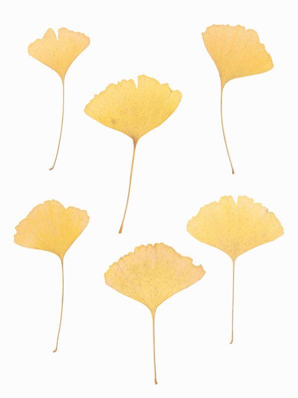 Herbier Ginkgo biloba - feuilles d'automne à imprimer • Creative Lune