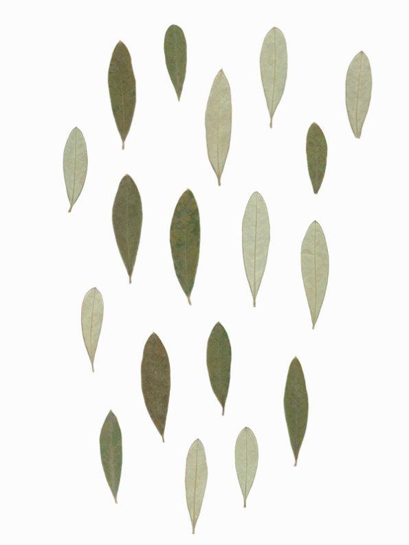 Herbier Olivier - feuilles d'olivier à télécharger • Creative Lune