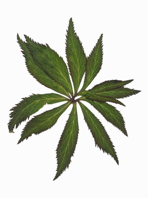 Herbier Pivoine - image de feuillage sauvage à télécharger • Creative Lune